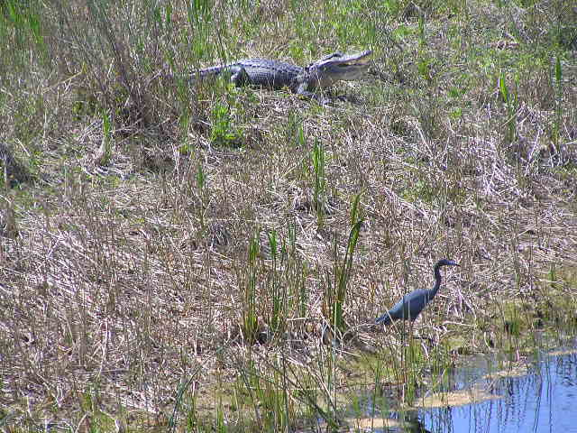 An alligator and blue heron at Raptor Bay Golf Club.