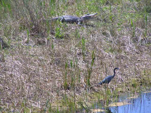 An alligator and blue heron at Raptor Bay Golf Club.
